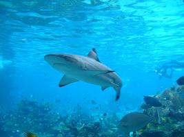 Черноморская акула катран